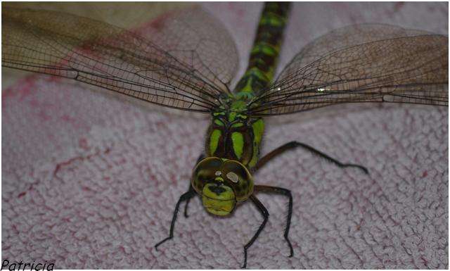 dsc_0043 dans insectes