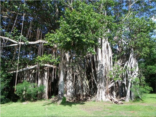 """Résultat de recherche d'images pour """"Troncs communs : banian d'inde ficus benghalensis"""""""