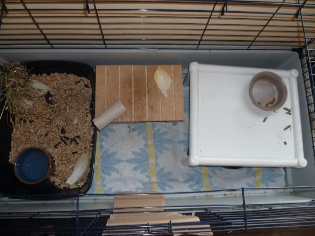 mes 2 futurs cochons d 39 inde ont ils tout ce qui leur faut hamsters cochons d 39 inde lapins. Black Bedroom Furniture Sets. Home Design Ideas