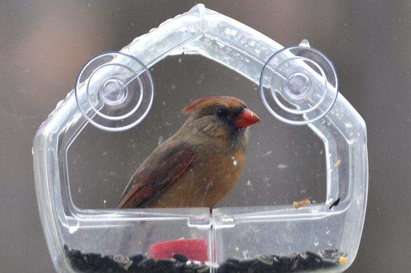 Mangeoire transparente pour fen tre for Fenetre a cardinal