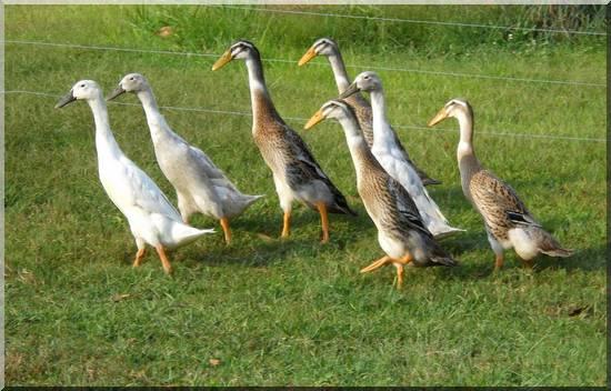 Lever des canards - Comment manger une figue de barbarie ...