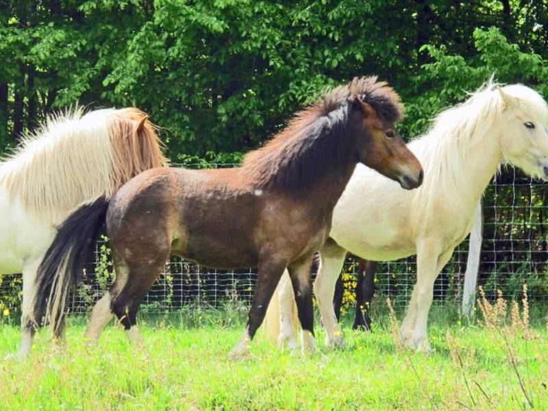 2 chevaux vendre elevage du domaine de rabreux. Black Bedroom Furniture Sets. Home Design Ideas