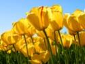 http://i55.servimg.com/u/f55/15/43/34/24/th/tulips10.jpg