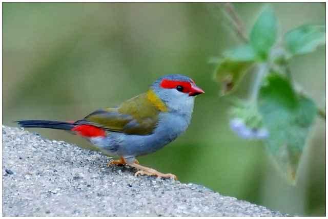 Les oiseaux ii ici et ailleurs for L oiseau jardinier