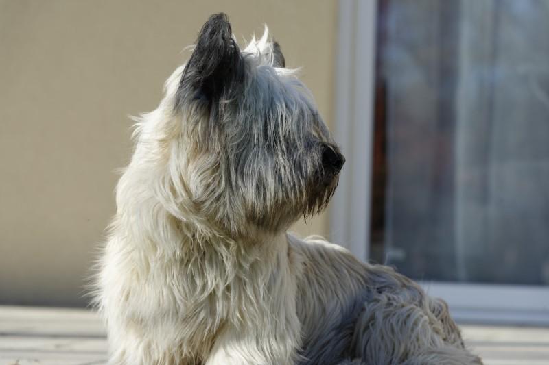 Le chien du Winger