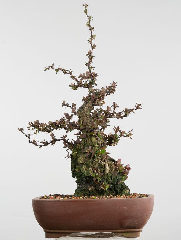 berberitze von der heckenpflanze zum bonsai j p seite 2. Black Bedroom Furniture Sets. Home Design Ideas