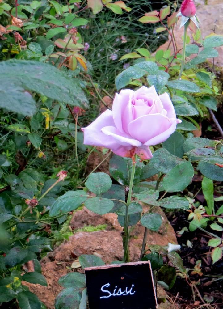 rosier taches noires
