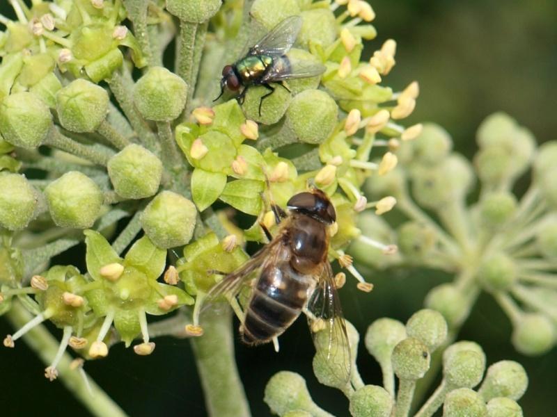 Mouche verte m tallique - Invasion de mouches vertes ...