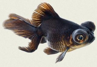Les vari t s de poissons rouges for Goldfish nourriture