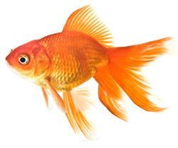 Les vari t s de poissons rouges for Achat poisson rouge japonais