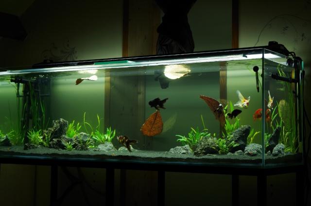 Aquarium feuille de catappa pr 233 venir certaines for Nourriture poisson rouge voile de chine