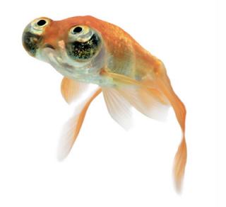Les vari t s de poissons rouges for Poisson rouge gros yeux