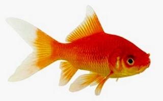 Les vari t s de poissons rouges for Poisson rouge queue de voile
