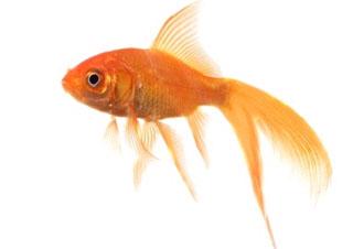 Les vari t s de poissons rouges for Prix des poissons rouges