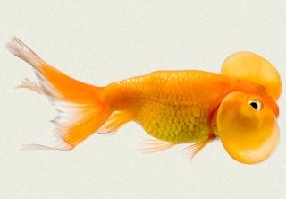 Les vari t s de poissons rouges for Nourriture poisson rouge super u