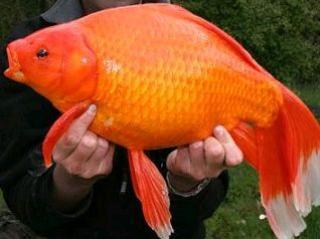 Du gros rouge mais qui ne t che pas for Gros poisson rouge