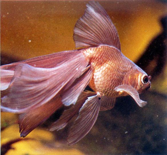 Poisson rouge voile de chine for Achat poisson rouge paris 18