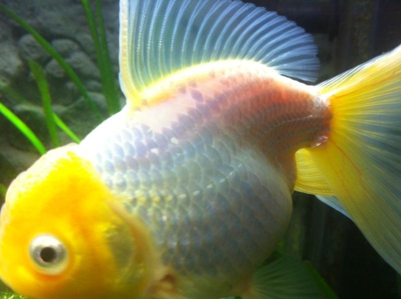 Mon poisson rouge jaune japonais perd ses ecailles for Poisson rouge japonais