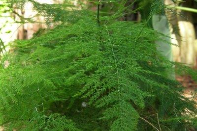 Asparagus---Asparagus officinalis