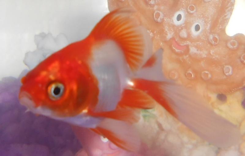 Aquarium 40l pour un poisson rouge japonais for Aquarium simple pour poisson rouge