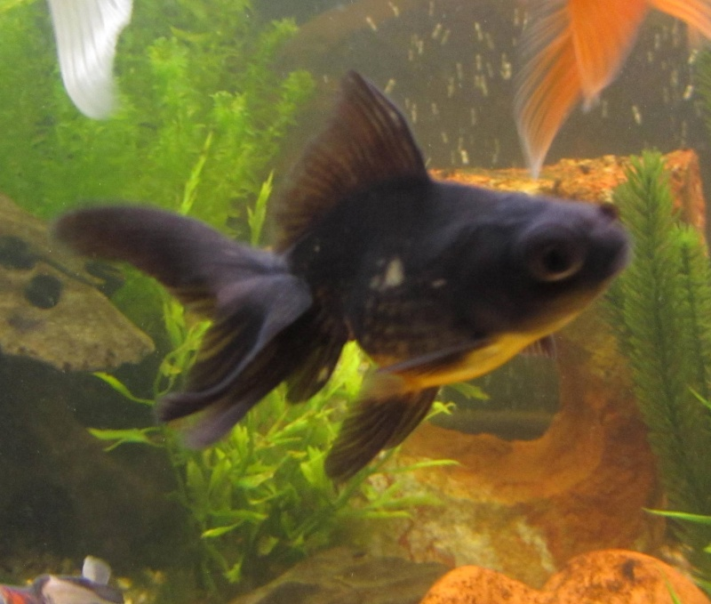 Changement de couleur sur black lady t lescope for Achat poisson rouge 92