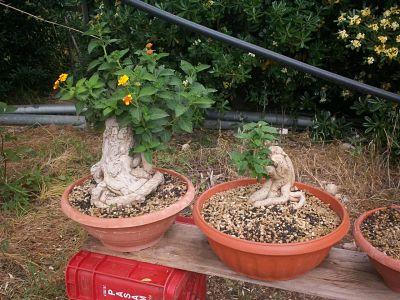 Dove coltiviamo i nostri bonsai pagina 21 for Dove comprare bonsai