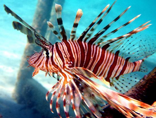 Les conqu rants le poisson lion for Prix poisson rouge tete de lion